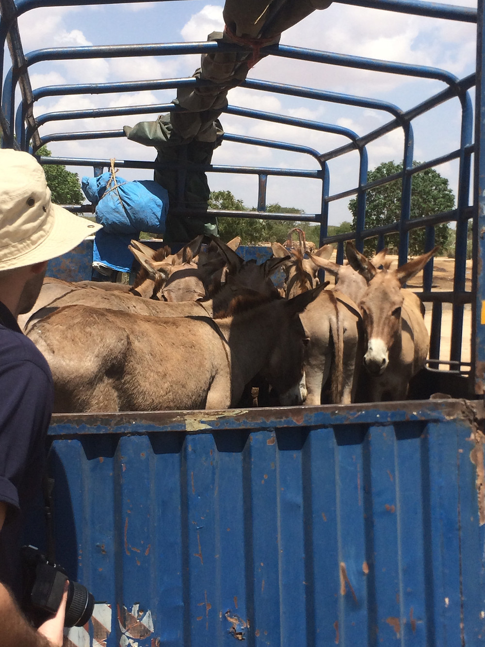 Donkeys being transported as part of the meat and skin trade