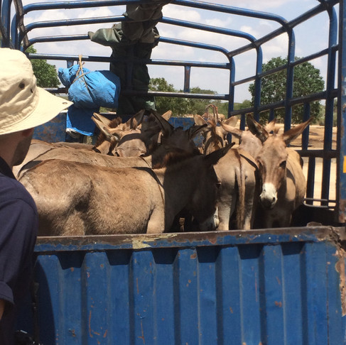 Donkeys in Tanzania Need our Help!