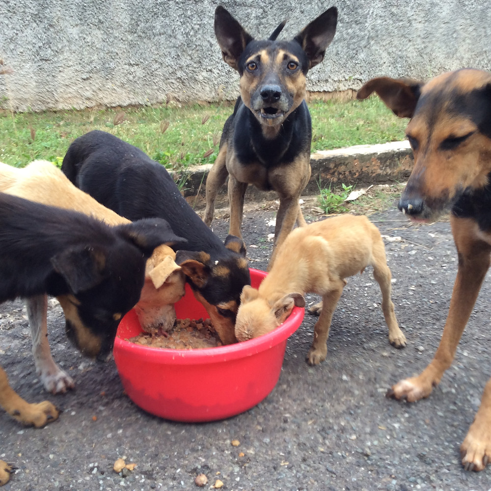 Group of abandoned wild dogs eating at Deborah's