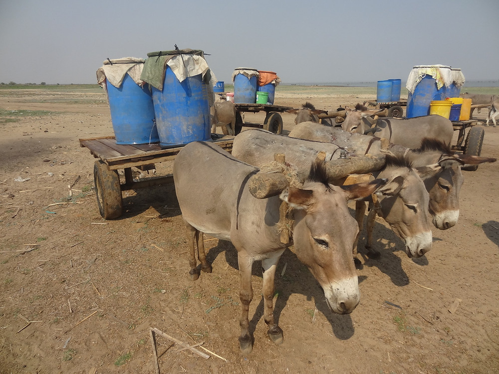 These single shaft, heavy carts with yokes are very uncomfortable for donkeys