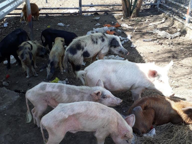 Ondangwa Town Council impounded animals