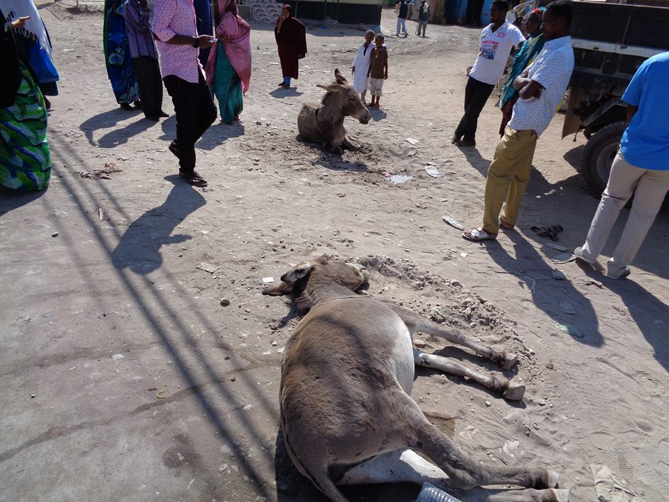 Injured donkey lying in the road in Hargeisa