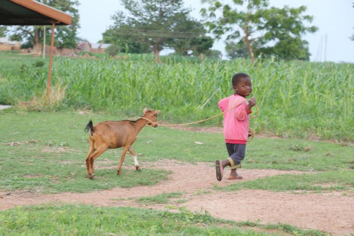 Free range goat