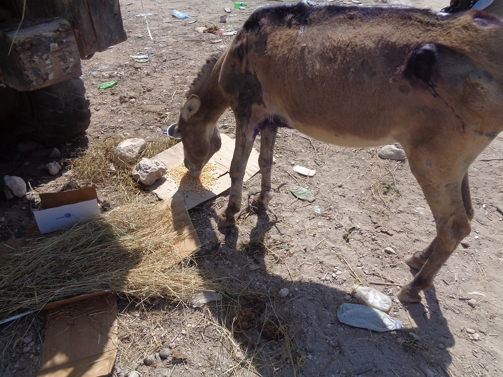 Abused donkey gets nutritious food