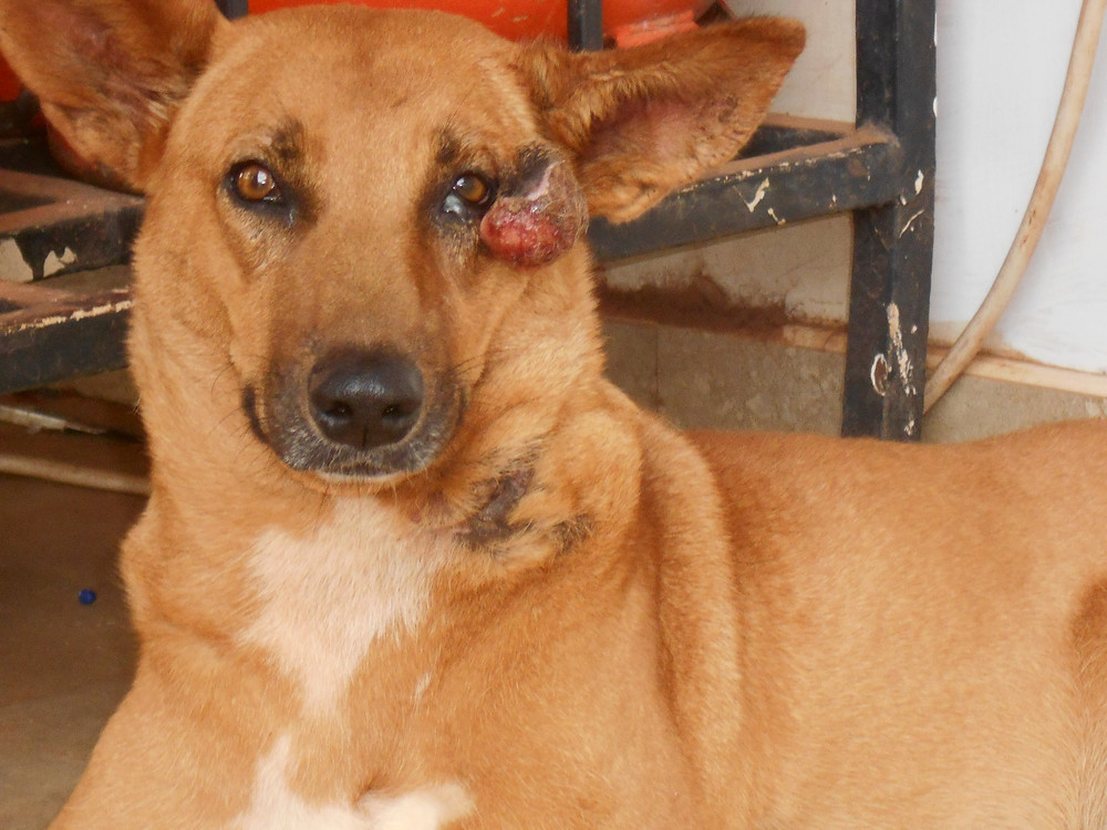 Lucky at the USPCA Haven-with a growth on her eye