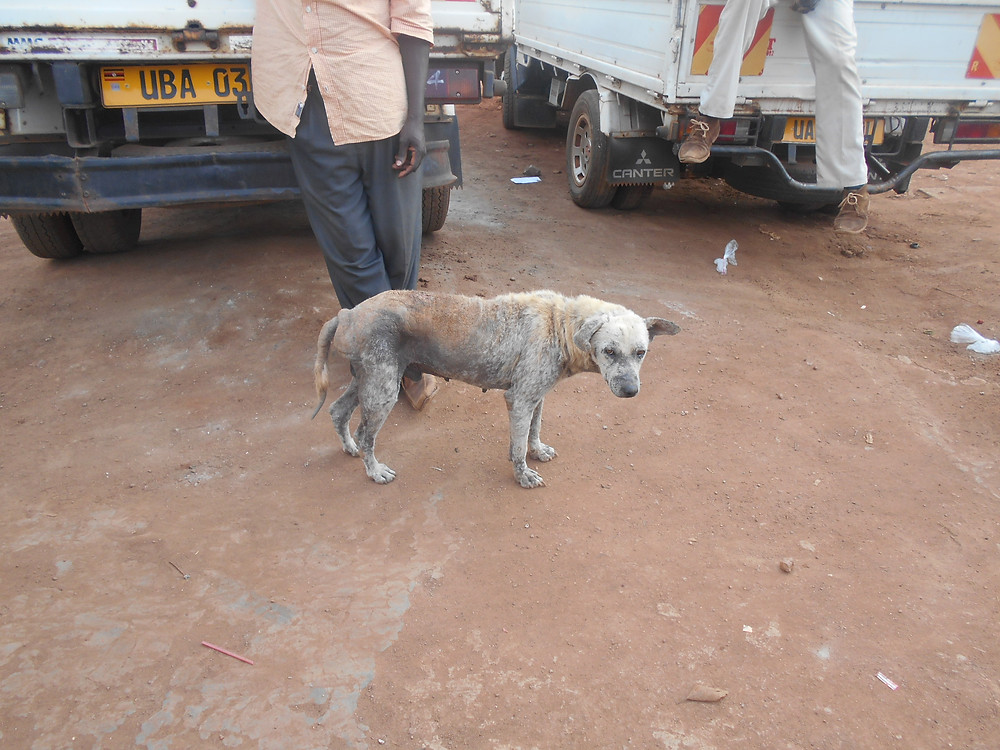 Dog with a very bad case of mange was treated at The Haven