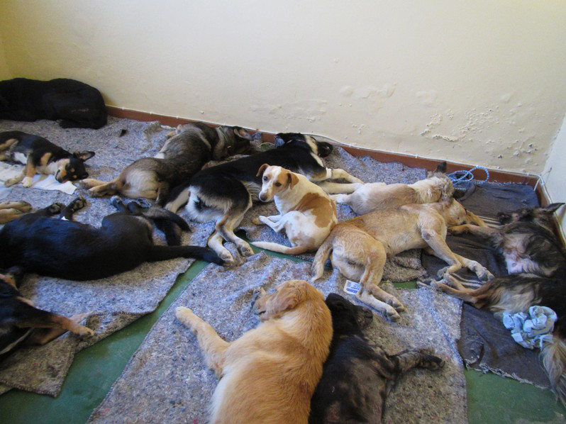 Dogs recovering after sterilization surgery
