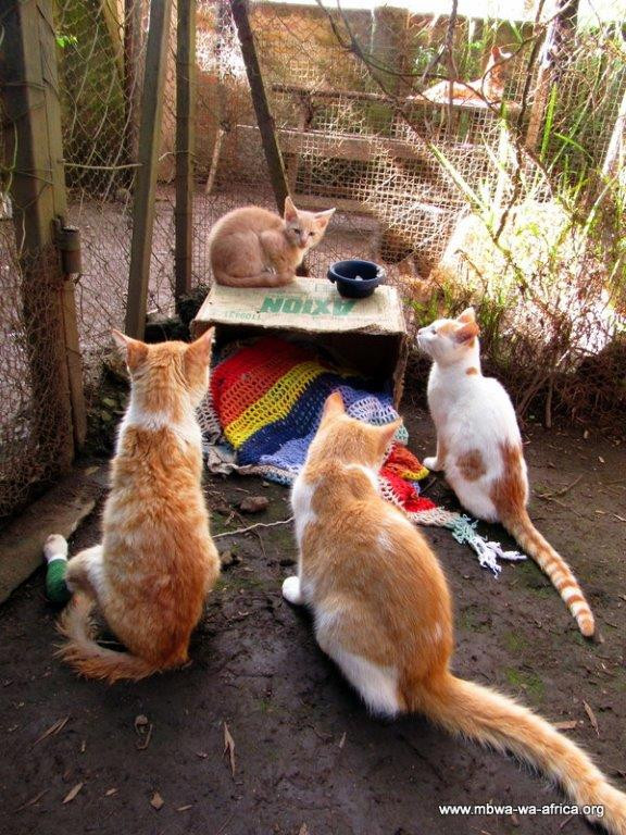 The 4 ginger & white kitties at MwA shelter in June