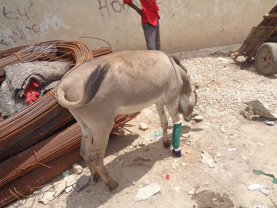 Donkey with broken leg is able to get around with the cast