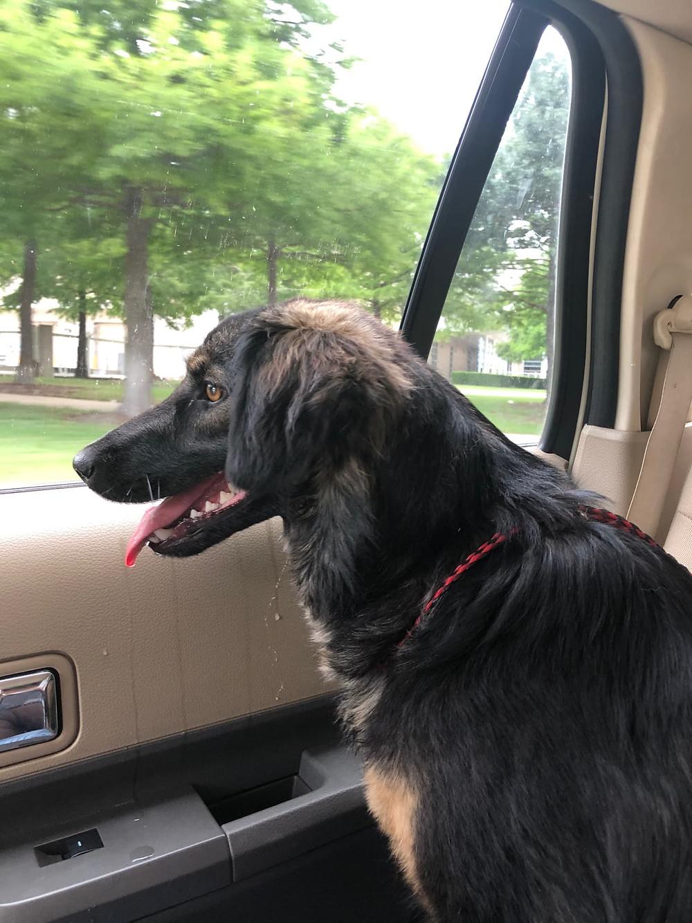An Armenian dog arrives in Dallas