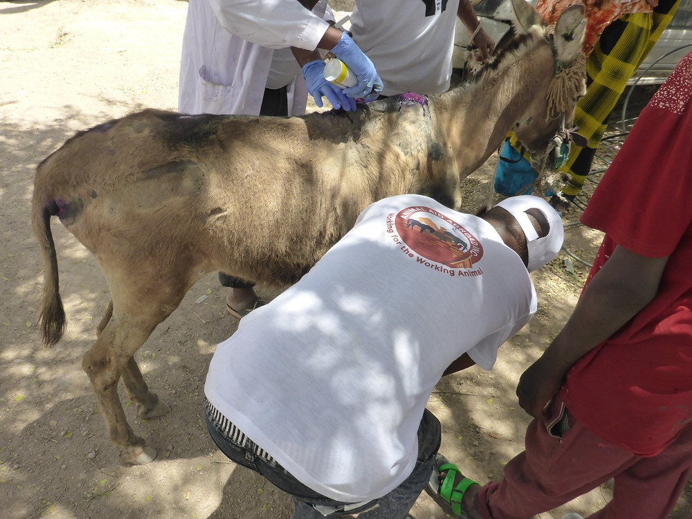 The abused donkey's wounds are being treated