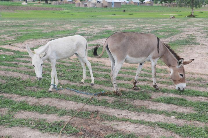 Tethered donkeys