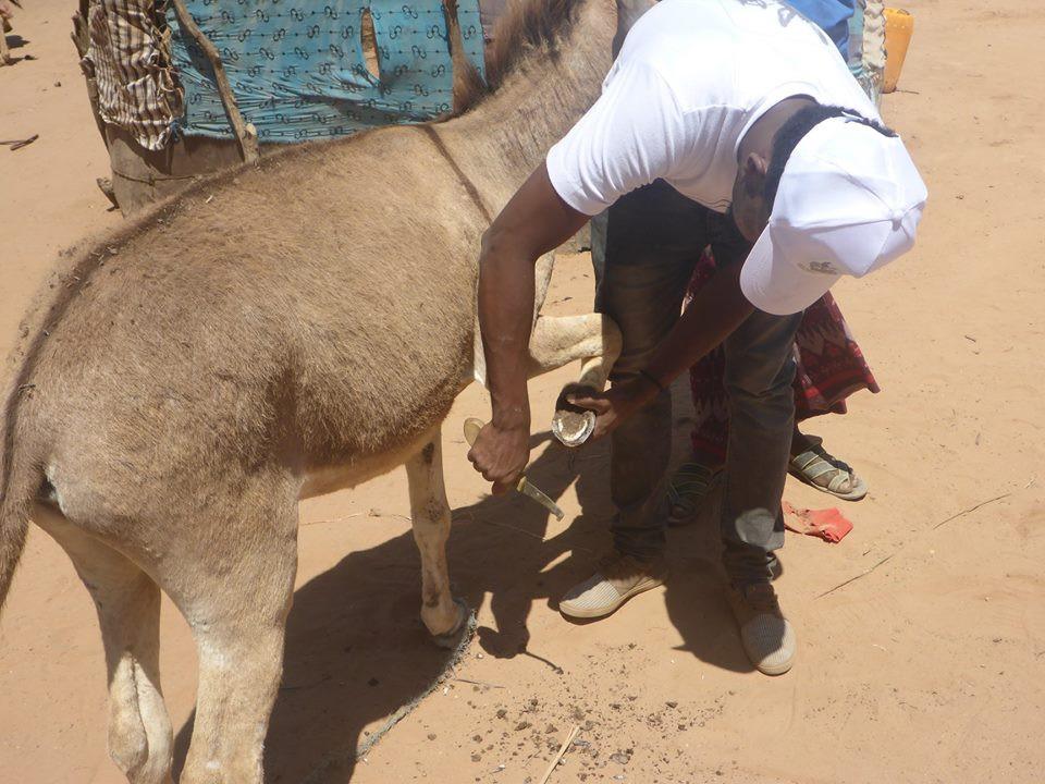 SAWS vet filing a donkey's hoof