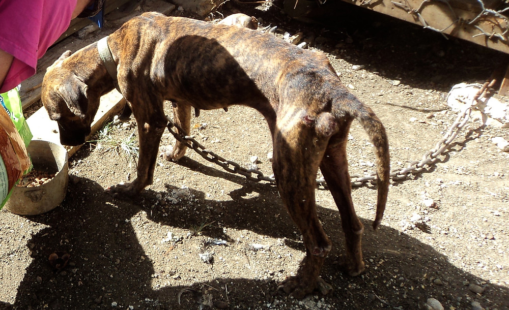 The Hope rescued this brindle dog