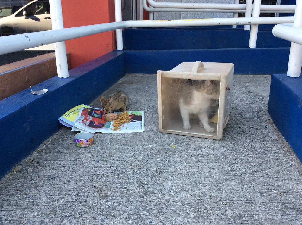 Mama kitty on her way to be spayed; along with her son, they live outside the credit union
