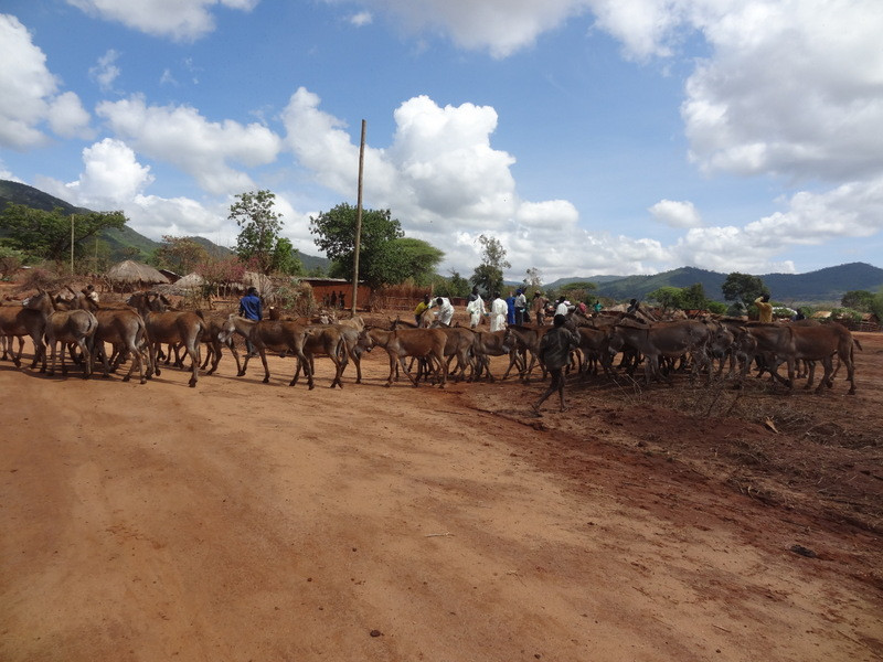 Donkeys arriving at a TAWESO clinic