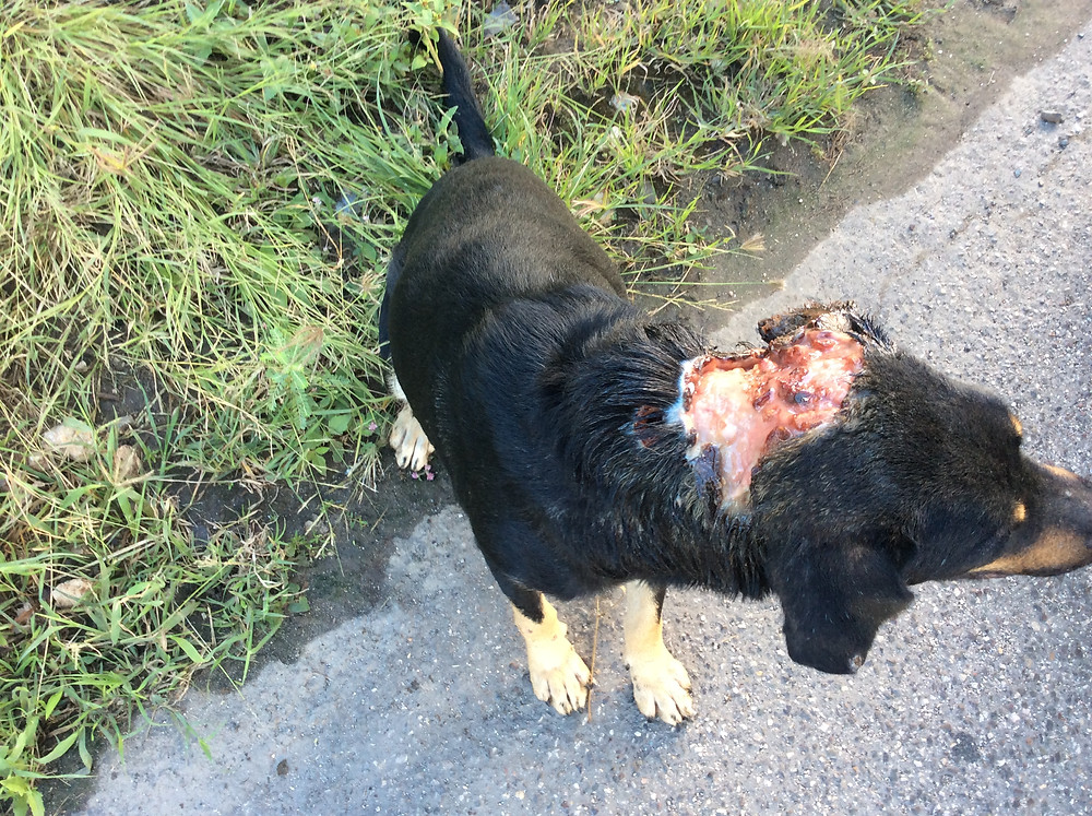 Dog with a maggot-infested wound