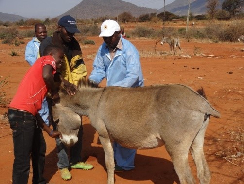 Donkey check up during the vet clinic