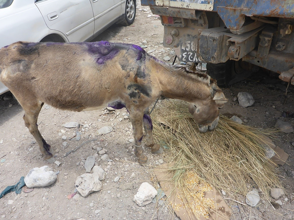 After rescue and treatment, the donkey gets a meal