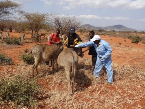 Treating a donkey during the clinic