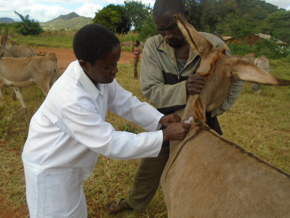Treating donkeys during the AKI-supported vet clinics