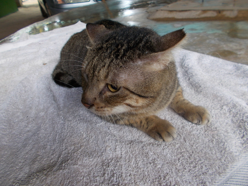 A rescued cat, now at the TAWESO shelter