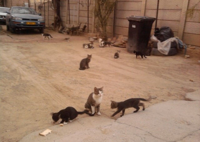 Feral cats in Karibib