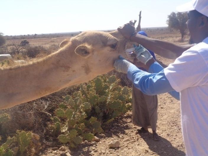De-worming a camel