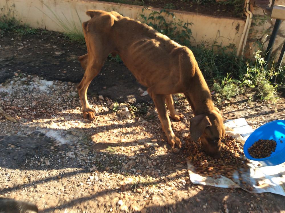 Starving brown dobie-being fed by Deborah