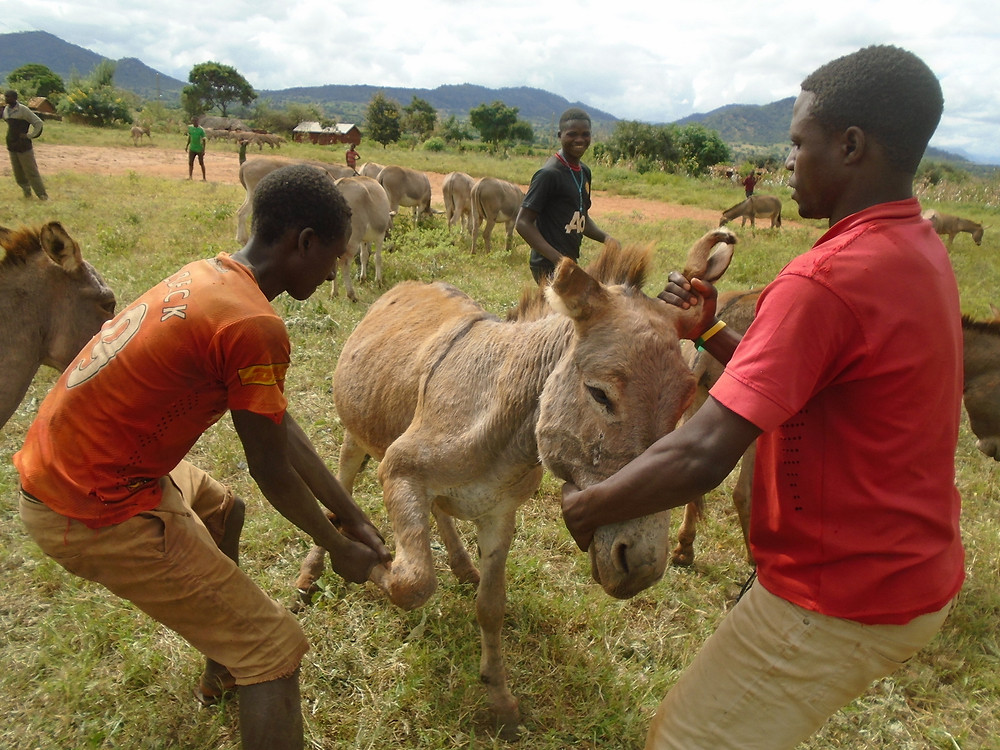 Vets checked donkey hooves and treated problems with lameness