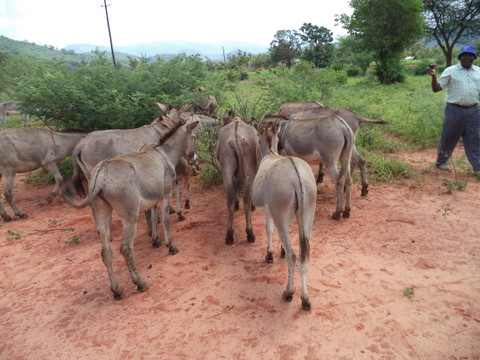 Some of the working donkeys treated at the clinic