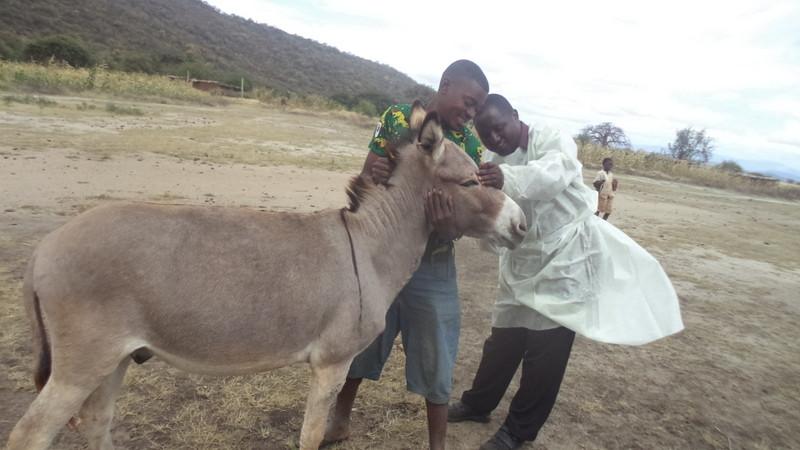 Donkey receiving vet care