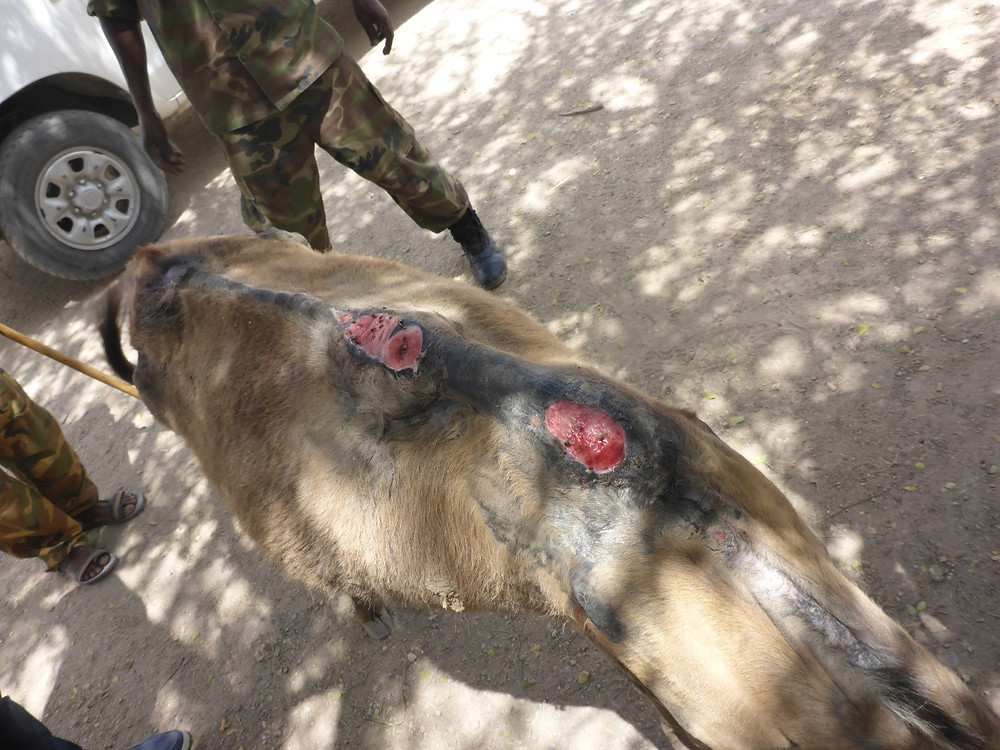 Condition of the donkey when SAWS brought him to the police