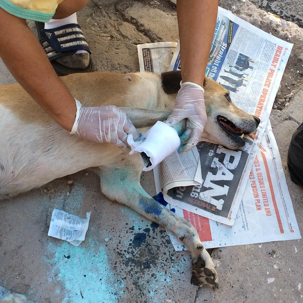 Deborah bandages the injured dog