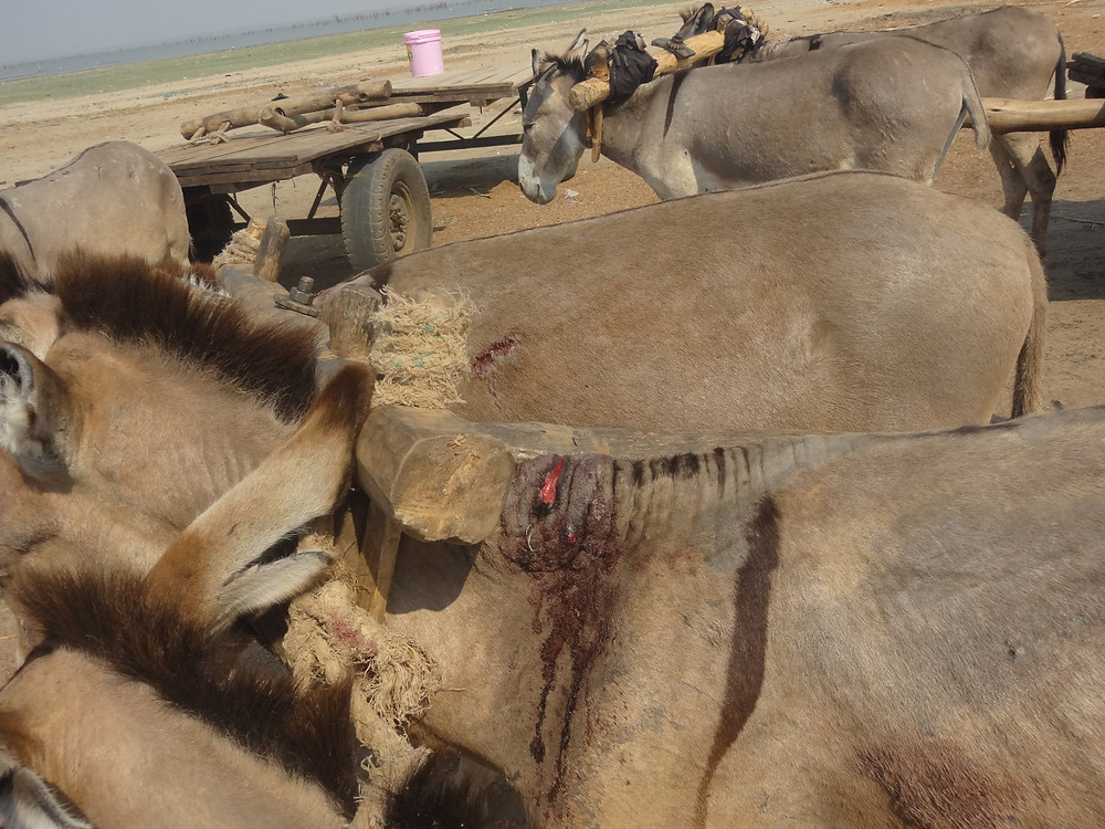 Sores from overloading and overworking donkeys and using yolks with single shaft system