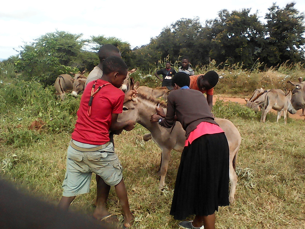 Treating donkeys during TAWESO clinic