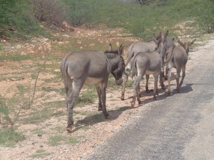 SAWS saw these donkeys enroute to the villages, most of them pregnant
