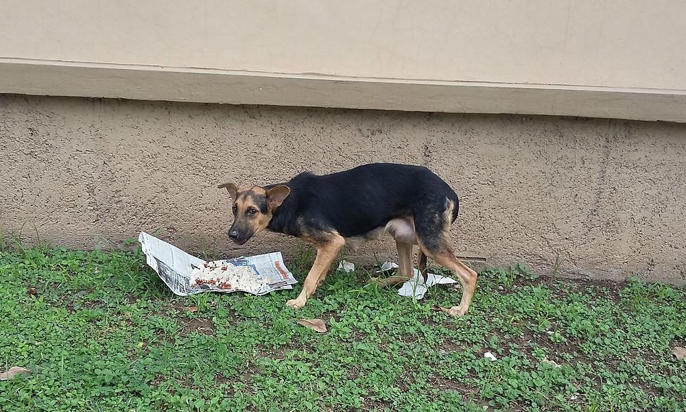 A pregnant dog (Oct) now getting regular feedings