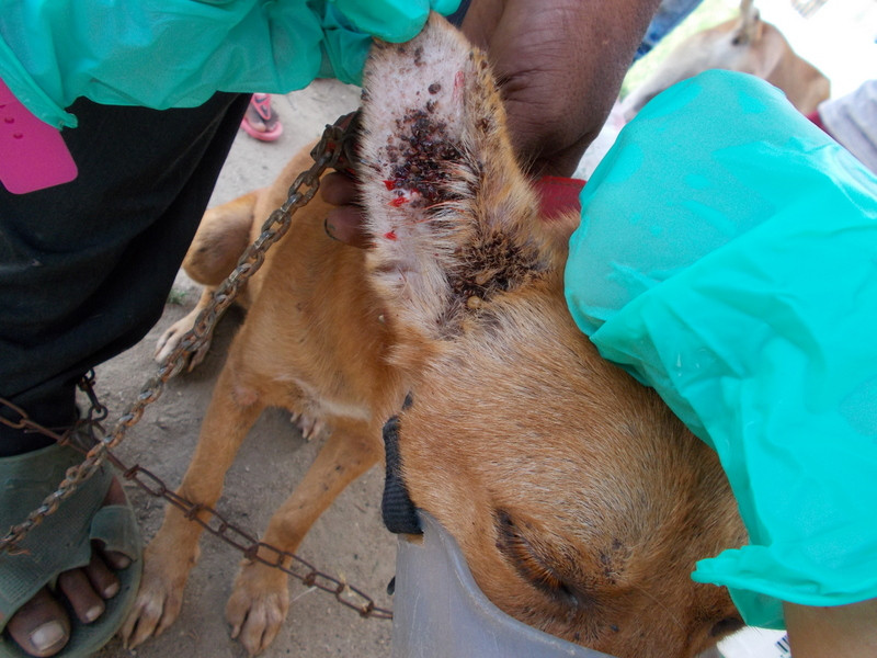 Horrible tick infestation-pet owners in rural Mpwawa region have had to rely on TAWESO's intermittent vet clinics