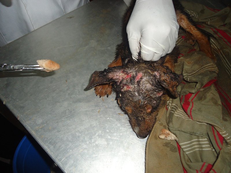 Puppy with mange-BEFORE treatment