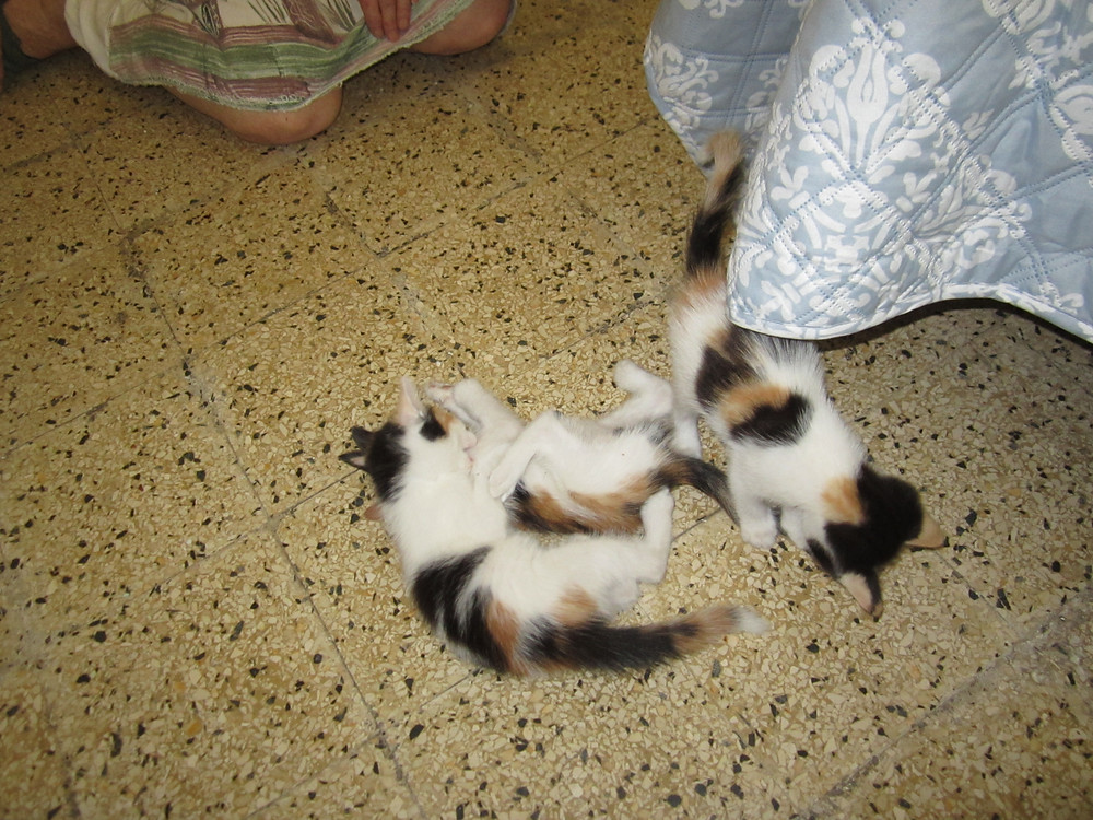 3 kitties playing-no care in the world
