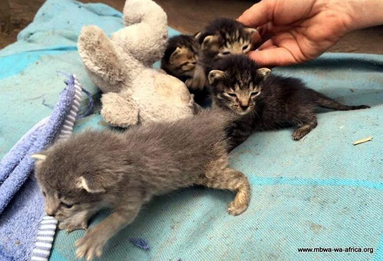Photo 12. 4 motherless kitties at the MwA shelter