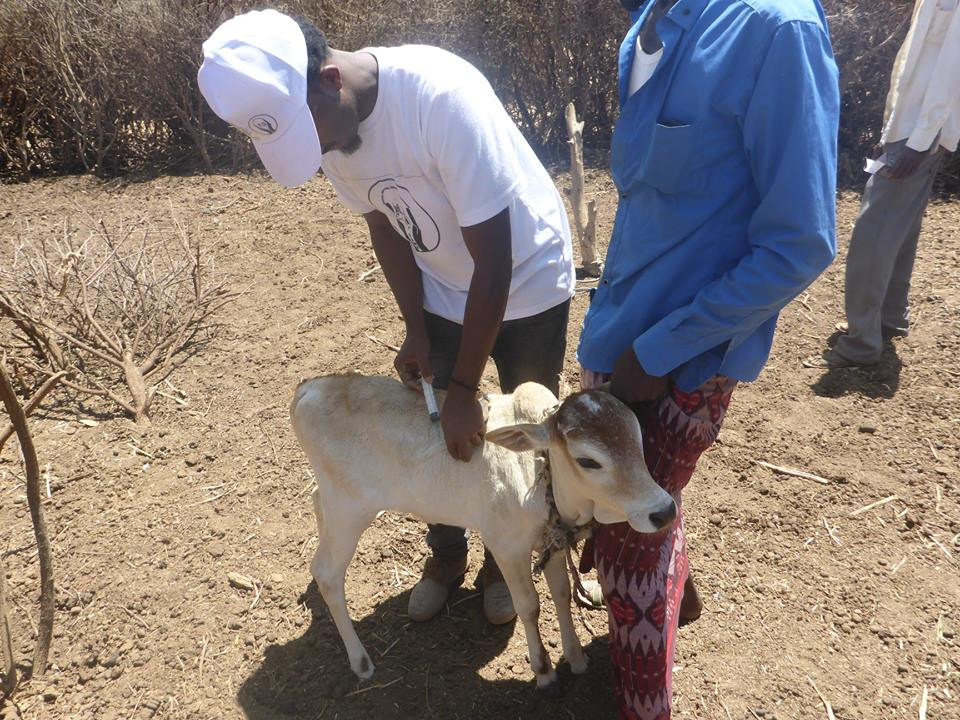 SAWS vet vccinates a calf during the March clinic