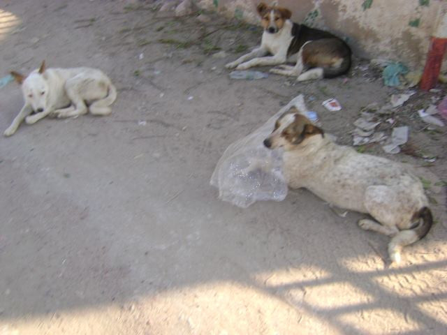 Dogs in Hargeisa