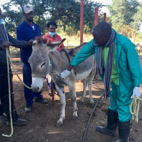 Zambezi Working Donkey Project (Zambia) Launches their AKI Grant