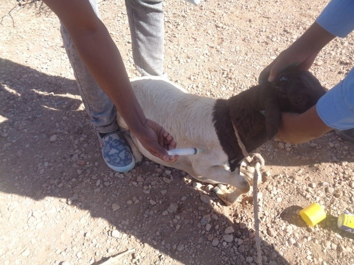 SAWS team treats an injured sheep