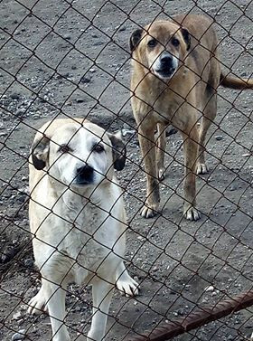 SAA shelter dogs