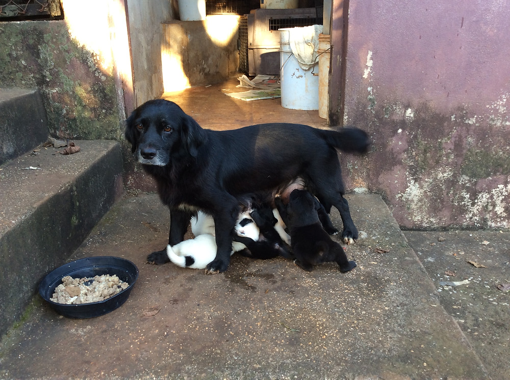 Sheba and her puppies at the KCAW pens