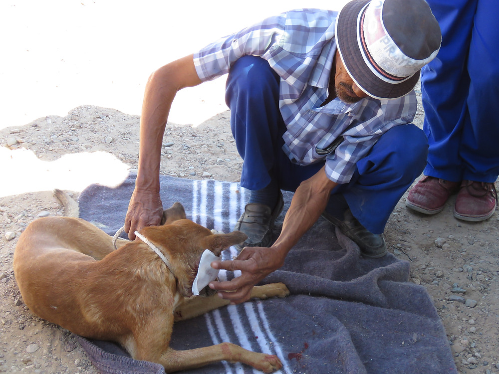 Owner helps his dog with puff adder bite