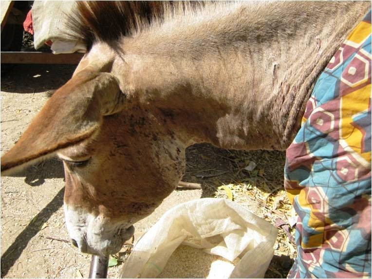 a working donkey in northern Cameroon